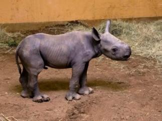 Cría de rinoceronte negro oriental