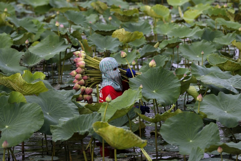 Cultivo de flores de loto