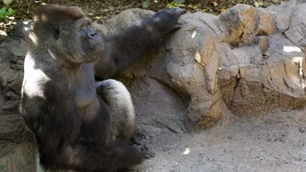 El gorila León, seleccionado para ser el único gorila de Sudamérica