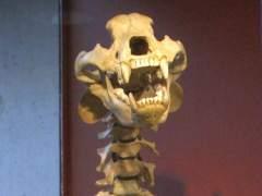Huesos de oso prehistórico
