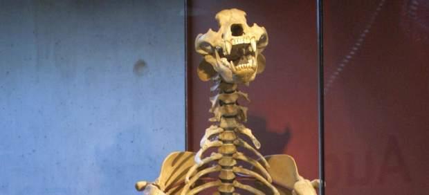 Huesos de oso prehist�rico