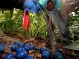 Un casuario, alimentándose de frutos en el bosque.