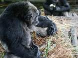 Un chimpancé adopta a una pitón
