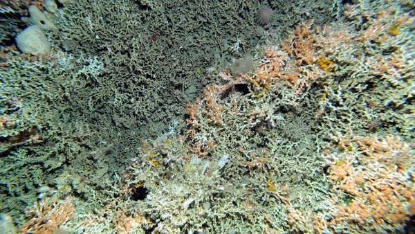 Descubren cinco nueves especies de corales científicos del Instituto Español de Oceanografía (IEO) y la Smithsonian Institution de EEUU