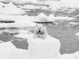 Polar bear, Svalbald, 2008