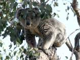 Los koalas se bajan de los eucaliptos por el aumento de las temperaturas