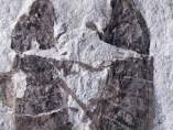 Fósil de insectos copulando