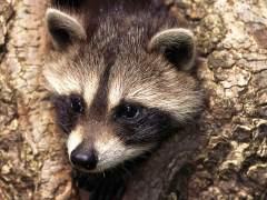 """Los mapaches son una especie invasora que está """"fuera de control"""" en Europa"""