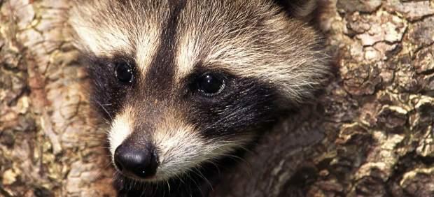 Los mapaches son una especie invasora que está