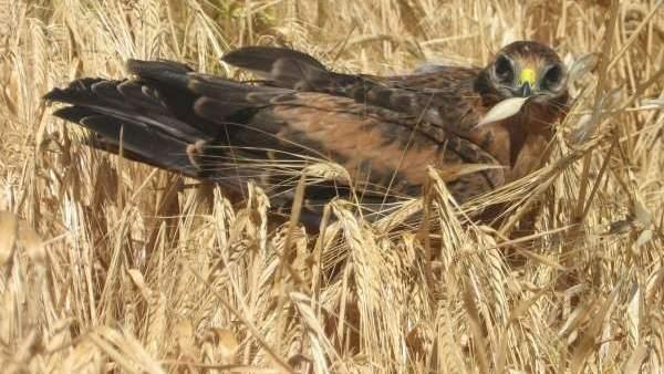 La reproducción del aguilucho cenizo alcanza este año su máximo histórico con 678 nidos controlados
