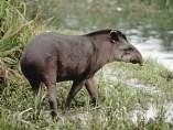 Tapirus terrestris