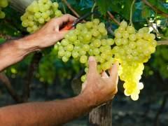 Pisar la uva, nueva propuesta de enoturismo para toda la familia