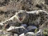 Un GPS para proteger al leopardo de las neives en Nepal
