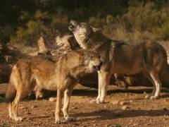 La Red Natura 2000 no protege adecuadamente al lobo al sur del río Duero