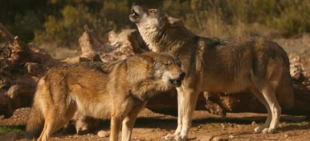 Dos ejemplares de lobo ibérico