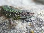 Un reptil endémico, en peligro de extinción