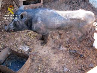 Cerdo con desnutrición