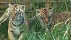 Nacen tres tigres en el zoo de Londres