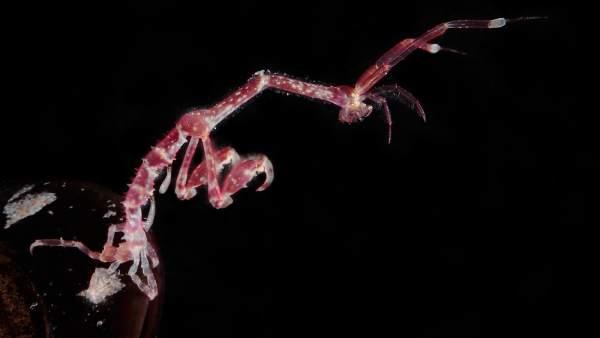 Camarón esqueleto Japonés