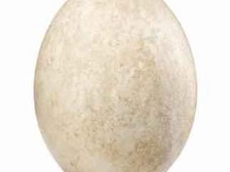Huevo de ave elefante.