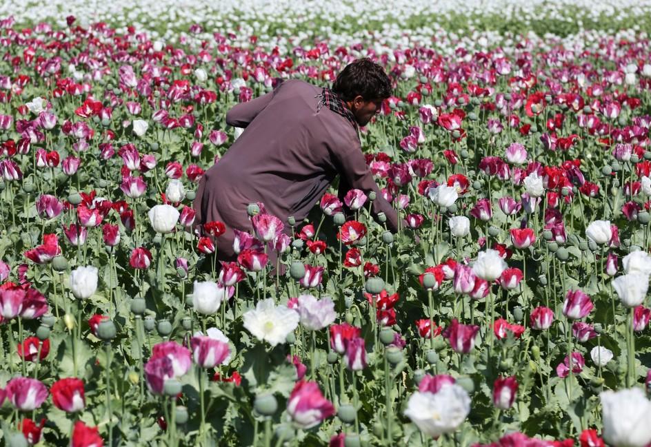 Producción récord de opio