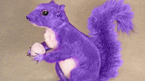 'The Purple Squirrel'