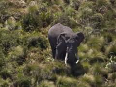 La caza furtiva ha reducido la población de elefantes a la mitad en Mozambique
