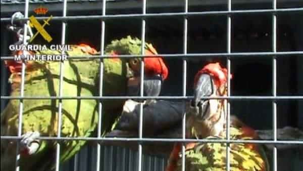 Aves incautadas por la Guardia Civil
