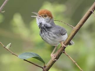 Una nueva especie de pájaro