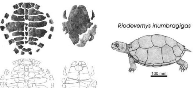 Encuentran en Teruel el fósil de una nueva especie de tortuga