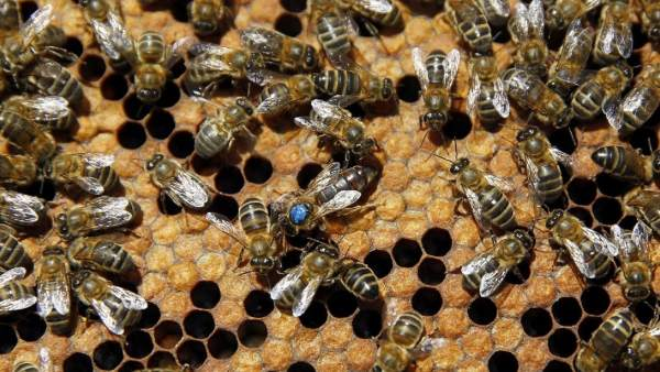Enjambre de abejas mata a 2 perros en Tepic