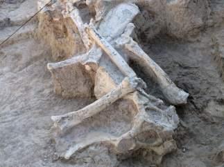 Esqueleto de una jirafa fósil