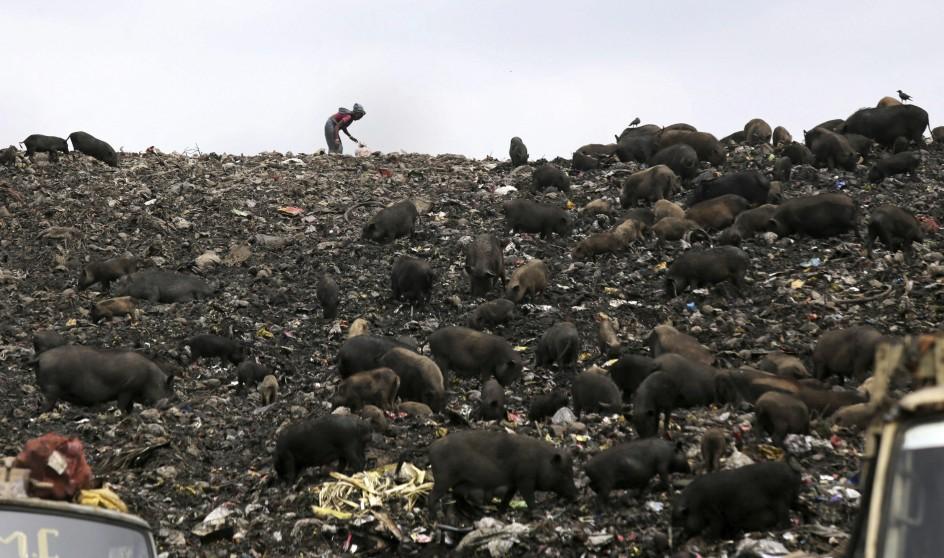 Las autoridades retiran los cerdos de Calcuta