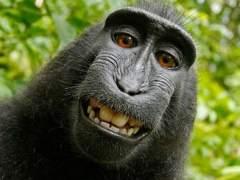 """El mono Naruto: los animales no pueden cobrar """"copyright"""""""