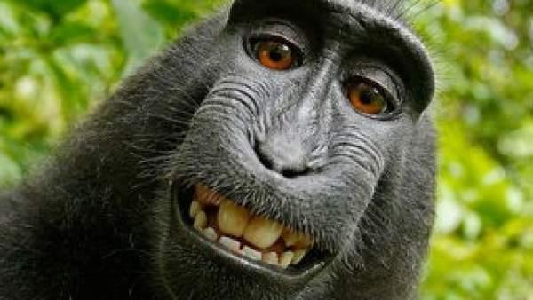 Llegan A Un Acuerdo Por Los Derechos De Imagen De Un Selfie Hecho Por Un Mono