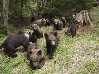 Cachorros de osos pardos