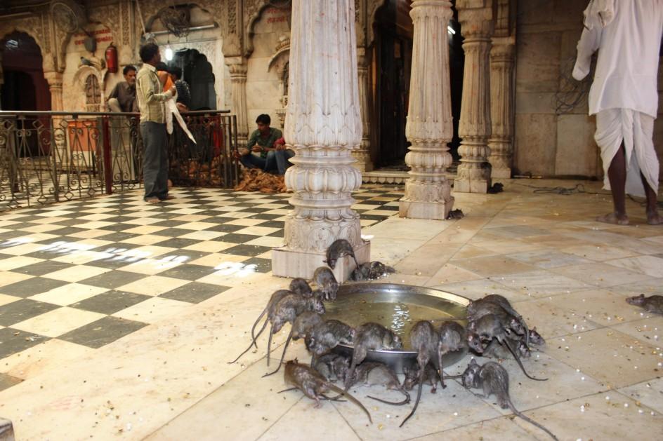 El templo de las ratas