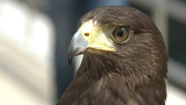 Ver v�deo �guilas para espantar a las palomas