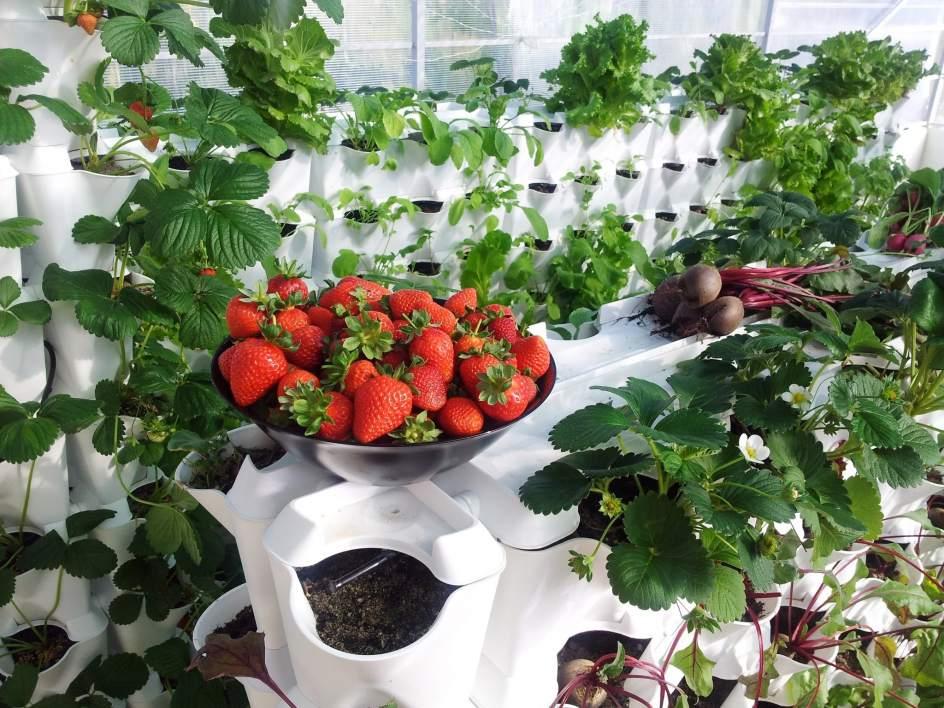 frutas y verduras cultivadas en la pared de casa