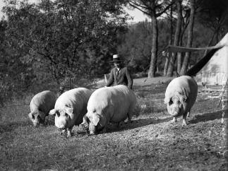 'Lote de cerdos cebados del Marqu�s de Albayda', Casa de Campo, Madrid, 1930