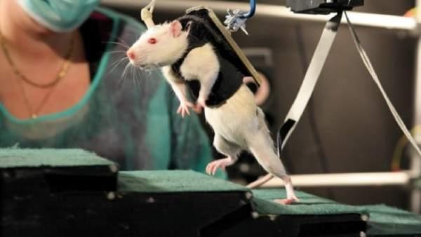 Logran que ratones paralíticos puedan caminar de nuevo gracias a la estimulación eléctrica
