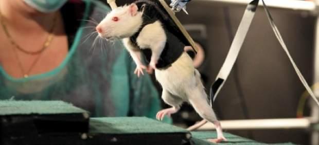 Ratones paralíticos recuperan la movilidad