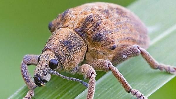 Hallan larvas de gorgojo servidas en seis comedores de for Comedores castilla y leon