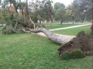 Cae un pino en el Retiro