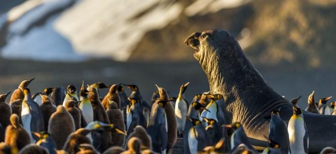 Una foca en una colonia de pingüinos