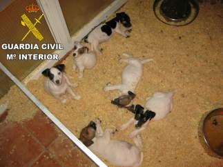 Cachorros de perro procedentes de países del Este de Europa decomisados por la Guardia Civil.
