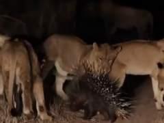 Erizo y los leones