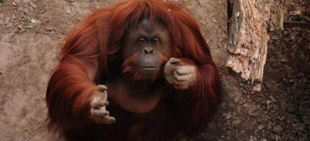 Sandra, la orangután