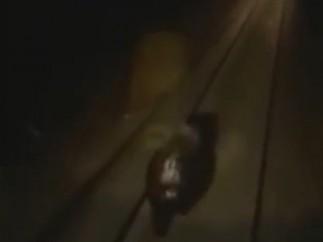 Un oso, arrollado por un tren en Siberia