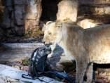 Leona en el zoo de Barcelona